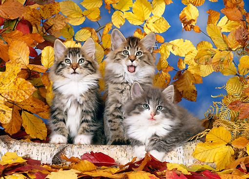 CAT 03 KH0233 01 © Kimball Stock Norwegian Forest Cat Kittens By Log And Autumn Leaves