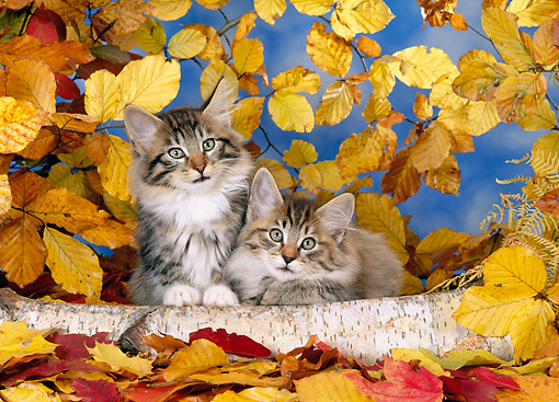 CAT 03 KH0234 01 © Kimball Stock Norwegian Forest Cat Kittens By Log And Autumn Leaves
