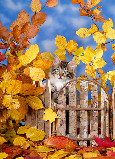 CAT 03 KH0237 01 © Kimball Stock Norwegian Forest Cat Kitten By Fence And Autumn Leaves