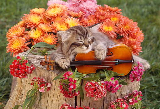CAT 03 RC0003 01 © Kimball Stock Sleeping Gray Kitten With Violin And Pink Flowers