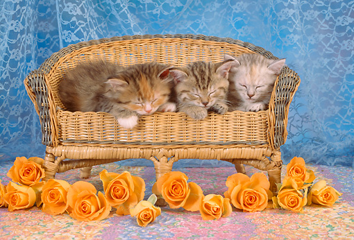 CAT 03 RC0013 01 © Kimball Stock Portrait Of Three Gray Kittens Sleeping On Wicker Bench With Orange Roses Studio