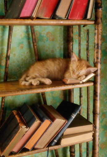 CAT 03 RC0017 01 © Kimball Stock Portrait Of Red Tabby Kitten Sleeping On Bookshelf Studio