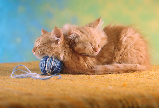 CAT 03 RC0019 01 © Kimball Stock Portrait Of Two Red Tabby Kittens Sleeping With Ball Of Yarn Studio
