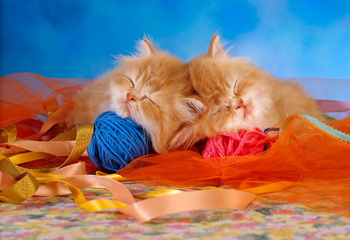 CAT 03 RC0020 02 © Kimball Stock Portrait Of Two Red Kittens Sleeping With Balls Of Yarn Studio