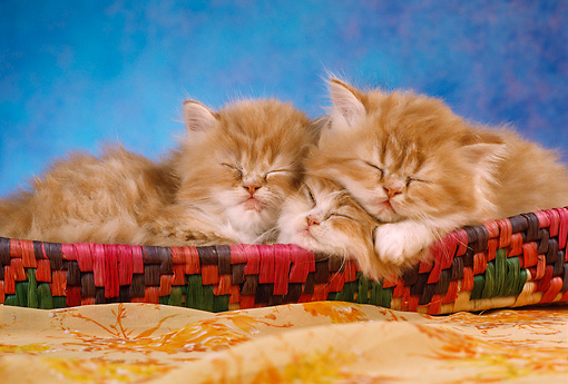CAT 03 RC0022 01 © Kimball Stock Portrait Of Three Red Kittens Sleeping In Basket