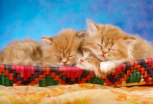 CAT 03 RC0022 02 © Kimball Stock Portrait Of Three Red Kittens Sleeping In Basket