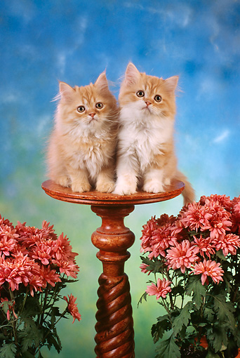 CAT 03 RC0024 01 © Kimball Stock Portrait Of Two Red Kittens Sitting On A Pedestal With Pink Flowers