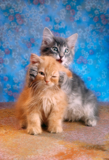 CAT 03 RC0025 01 © Kimball Stock Portrait Of Gray And Red Tabby Kittens Playing Blue Background