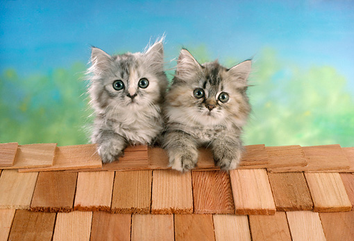 CAT 03 RC0026 01 © Kimball Stock Portrait Of Two Gray Kittens Sitting On Roof Studio
