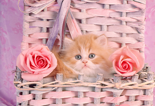 CAT 03 RC0029 01 © Kimball Stock Portrait Head Shot Of Red Kitten Sitting In Basket With Two Pink Roses