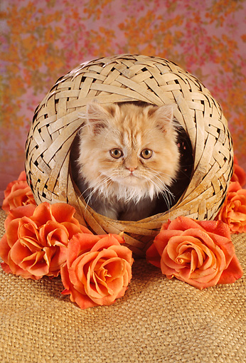 CAT 03 RC0030 01 © Kimball Stock Portrait Of Red Kitten Sitting In Round Basket With Orange Roses