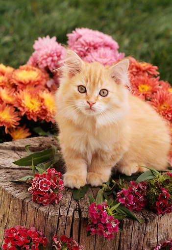 CAT 03 RC0034 01 © Kimball Stock Portrait Of Red Kitten Sitting On Tree Stump With Red, Pink And Orange Flowers