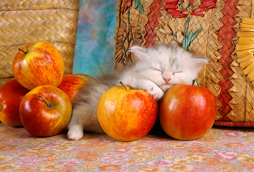 CAT 03 RC0035 01 © Kimball Stock Portrait Of Gray And White Kitten Sleeping On Red Apples By Baskets Studio