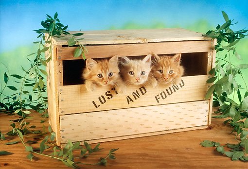 CAT 03 RC0038 01 © Kimball Stock Three Red Kittens Peeking Out Of Wooden Box