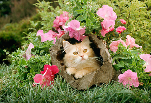 CAT 03 RC0039 01 © Kimball Stock Red Kitten Peeking Out Of Hollow Log By Pink Flowers