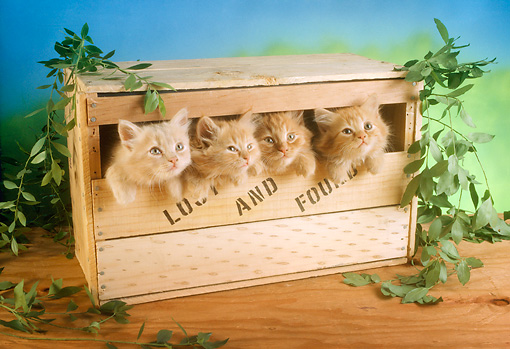 CAT 03 RC0040 01 © Kimball Stock Four Red Kittens Peeking Out Of Wooden Box
