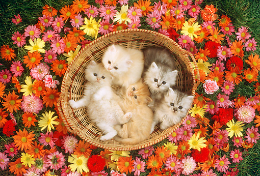 CAT 03 RC0042 01 © Kimball Stock Overhead Shot Of Five Red Persian Kittens Sitting In Basket Surrounded By Flowers