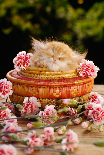 CAT 03 RC0044 01 © Kimball Stock Red Persian Kitten Sleeping In Round Basket By Pink Flowers