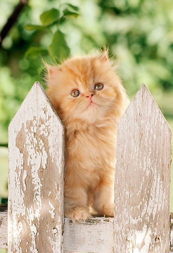 CAT 03 RC0049 01 © Kimball Stock Red Persian Kitten Sitting On Picket Fence