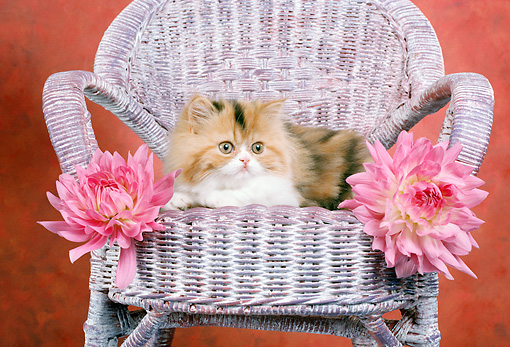 CAT 03 RC0051 01 © Kimball Stock Red And Gray Persian Kitten Laying On Wicker Chair By Two Pink Flowers