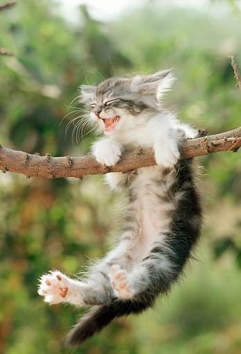 CAT 03 RC0055 01 © Kimball Stock Gray Persian Kitten Meowing Hanging From Tree Branch