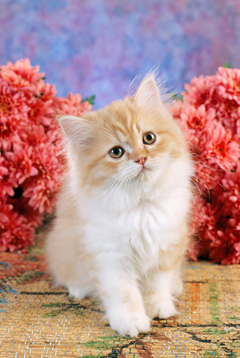 CAT 03 RC0058 01 © Kimball Stock Orange And White Persian Kitten Sitting By Pink Flowers