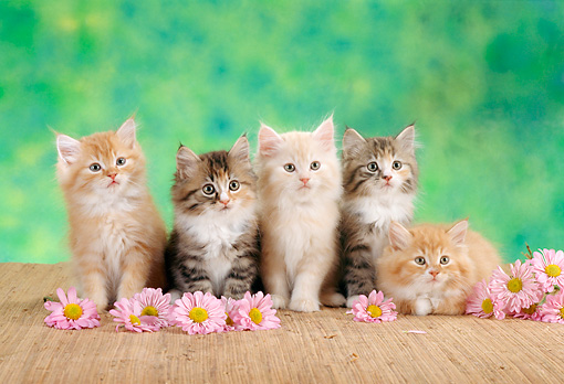 CAT 03 RC0059 01 © Kimball Stock Five Red And Gray Kittens Sitting By Pink Flowers Green Background