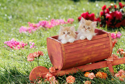 CAT 03 RC0060 01 © Kimball Stock Two Red Persian Kittens Sitting In Wheelbarrow In Garden