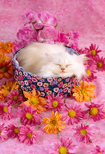 CAT 03 RC0067 01 © Kimball Stock White Persian Kitten Sleeping In Round Box By Flowers