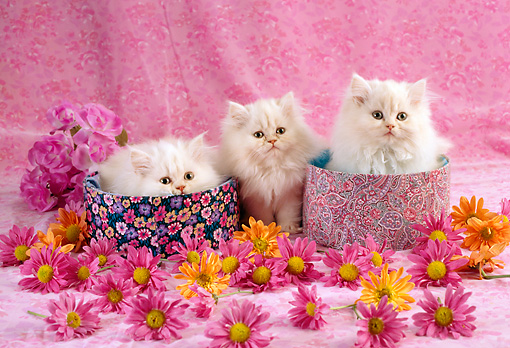 CAT 03 RC0068 01 © Kimball Stock Three White Persian Kittens Sitting In Round Boxes By Flowers