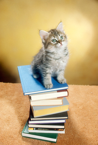 CAT 03 RC0073 01 © Kimball Stock Overhead Shot Of Gray Kitten Sitting On Stack Of Books