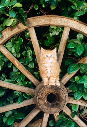 CAT 03 RC0074 01 © Kimball Stock Red Kitten Sitting On Hub Of Wagon Wheel By Shrub