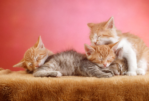 CAT 03 RC0076 01 © Kimball Stock Portrait Of Four Tabby Kittens Sleeping On Rug