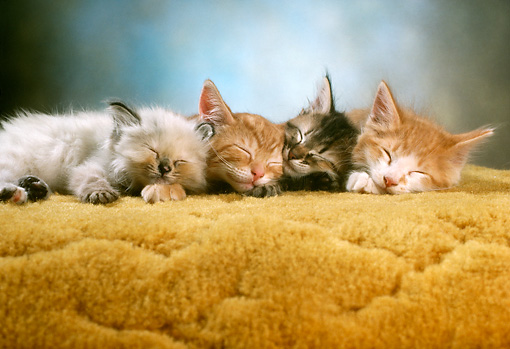 CAT 03 RC0077 01 © Kimball Stock Portrait Of Four Tabby Kittens Sleeping On Rug