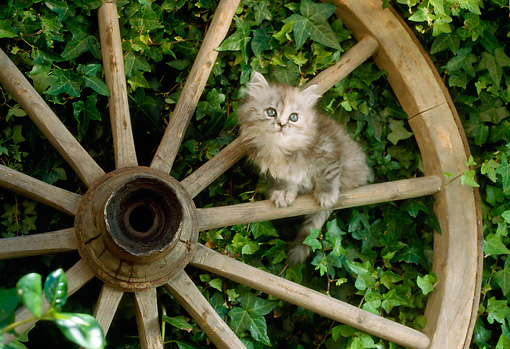 CAT 03 RC0083 01 © Kimball Stock Gray Kitten Sitting On Spoke Of Wagon Wheel By Shrub