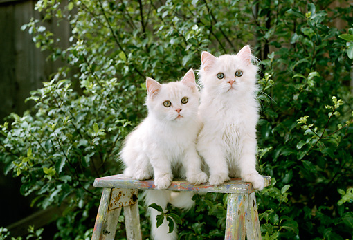 CAT 03 RC0084 01 © Kimball Stock Two Cream Persian Kittens Sitting On Stepladder