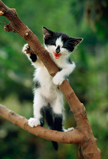 CAT 03 RC0087 01 © Kimball Stock White And Black Kitten Climbing Tree