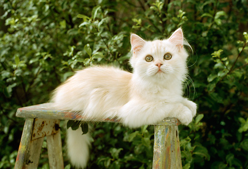 CAT 03 RC0088 01 © Kimball Stock Cream Persian Kitten Laying On Stepladder By Shrubs