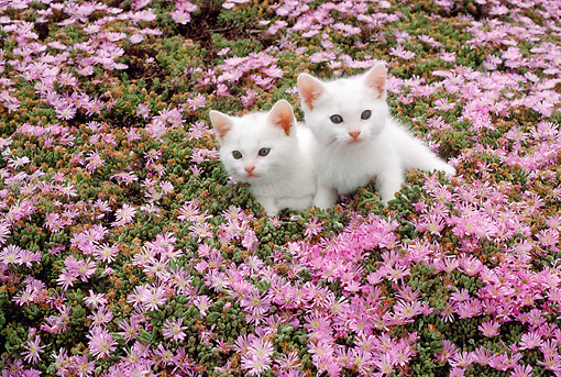 CAT 03 RC0089 01 © Kimball Stock Two Cream Persian Kittens Sitting In Field Of Pink Flowers