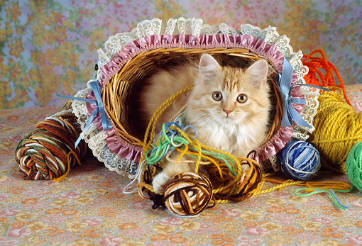 CAT 03 RC0097 01 © Kimball Stock Persian Kitten Laying In Basket By Balls Of Yarn
