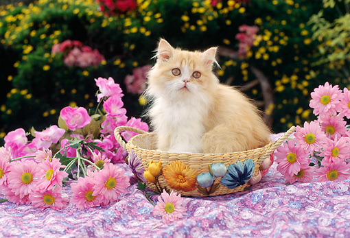 CAT 03 RC0098 01 © Kimball Stock Persian Kitten Sitting In Basket By Pink Flowers
