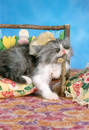 CAT 03 RC0101 01 © Kimball Stock Gray Persian Kitten Sleeping On Cushion With Chick