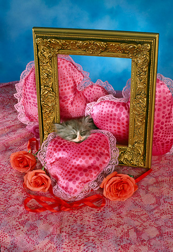 CAT 03 RC0106 01 © Kimball Stock Gray Persian Kitten Sleeping By Roses, Heart-Shaped Pillows And Picture Frame