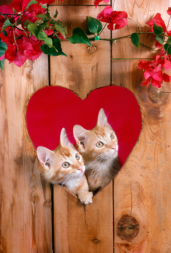 CAT 03 RC0107 01 © Kimball Stock Two Tabby Kittens Peeking Through Heart-Shaped Hole In Wall By Flowers