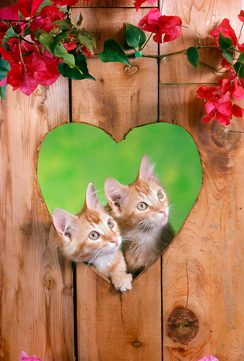 CAT 03 RC0108 01 © Kimball Stock Two Tabby Kittens Peeking Through Heart-Shaped Hole In Wall By Flowers