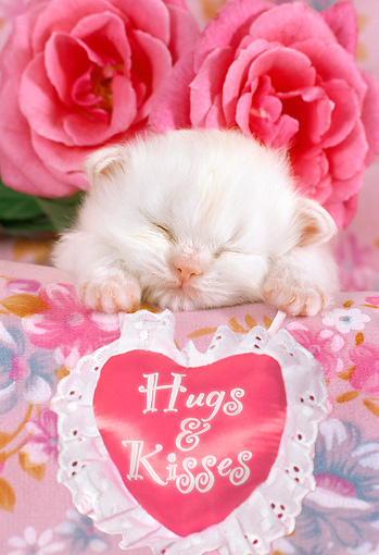 CAT 03 RC0109 01 © Kimball Stock White Persian Kitten Sleeping By Heart-Shaped Pillow And Two Pink Roses