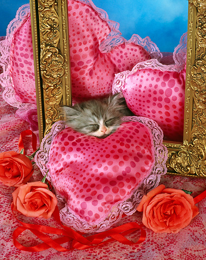 CAT 03 RC0110 01 © Kimball Stock Gray Persian Kitten Sleeping By Roses, Heart-Shaped Pillows And Picture Frame