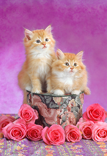 CAT 03 RC0112 01 © Kimball Stock Two Red Kittens Sitting On Hat Box By Pink Roses Studio