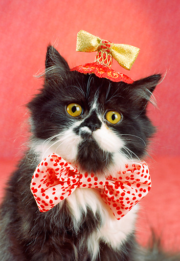 CAT 03 RC0115 01 © Kimball Stock Black And White Persian Kitten Wearing Hat And Bow Tie Studio
