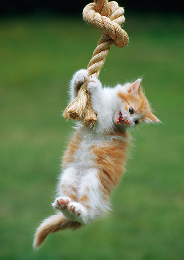 CAT 03 RC0118 01 © Kimball Stock Orange And White Tabby Kitten Hanging By Front Paws On Rope